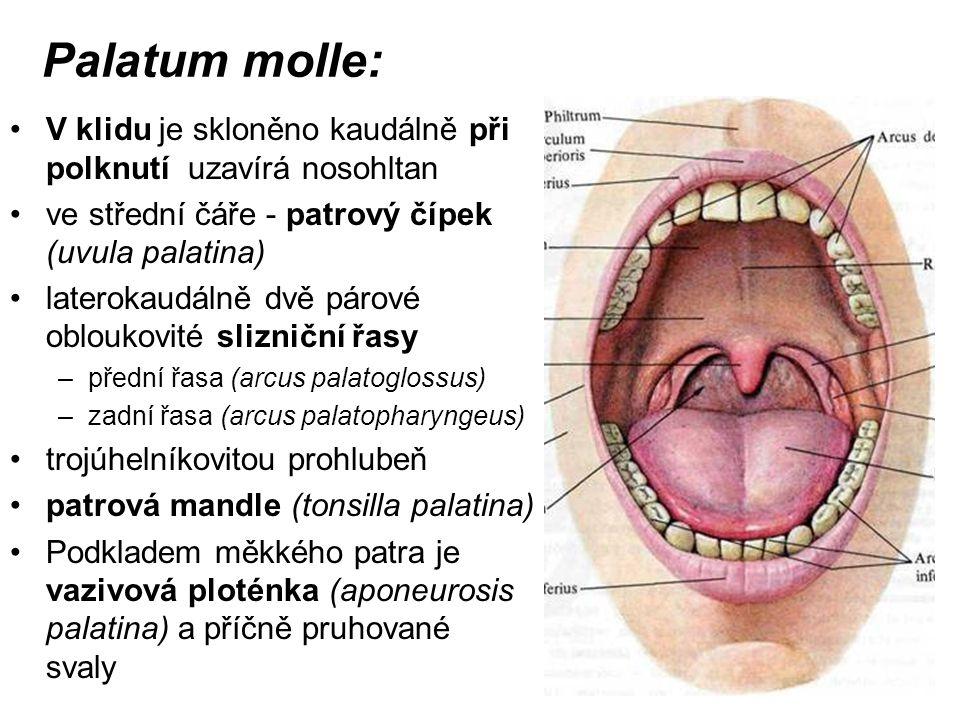 Palatum molle: V klidu je skloněno kaudálně při polknutí uzavírá nosohltan ve střední čáře - patrový čípek (uvula palatina) laterokaudálně dvě párové