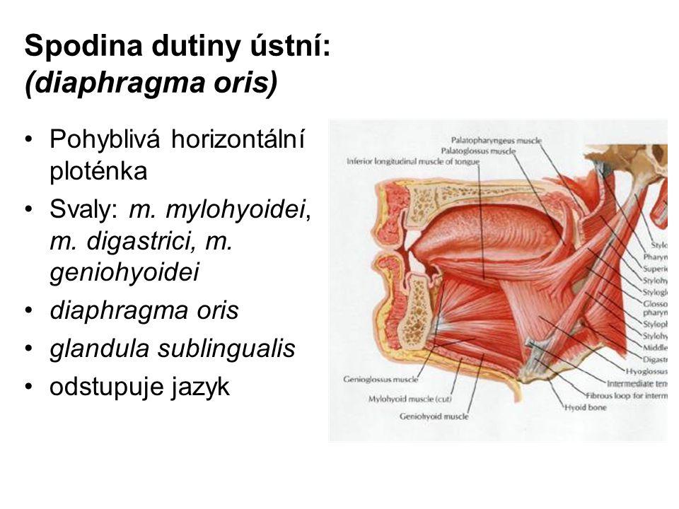 Spodina dutiny ústní: (diaphragma oris) Pohyblivá horizontální ploténka Svaly: m. mylohyoidei, m. digastrici, m. geniohyoidei diaphragma oris glandula