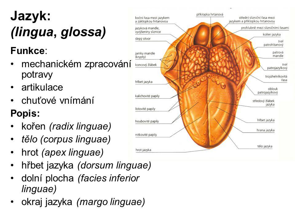 Jazyk: (lingua, glossa) Funkce: mechanickém zpracování potravy artikulace chuťové vnímání Popis: kořen (radix linguae) tělo (corpus linguae) hrot (ape