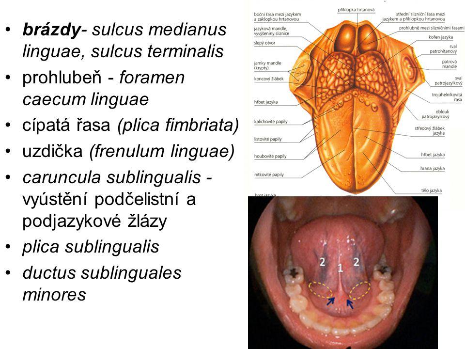 brázdy- sulcus medianus linguae, sulcus terminalis prohlubeň - foramen caecum linguae cípatá řasa (plica fimbriata) uzdička (frenulum linguae) caruncu