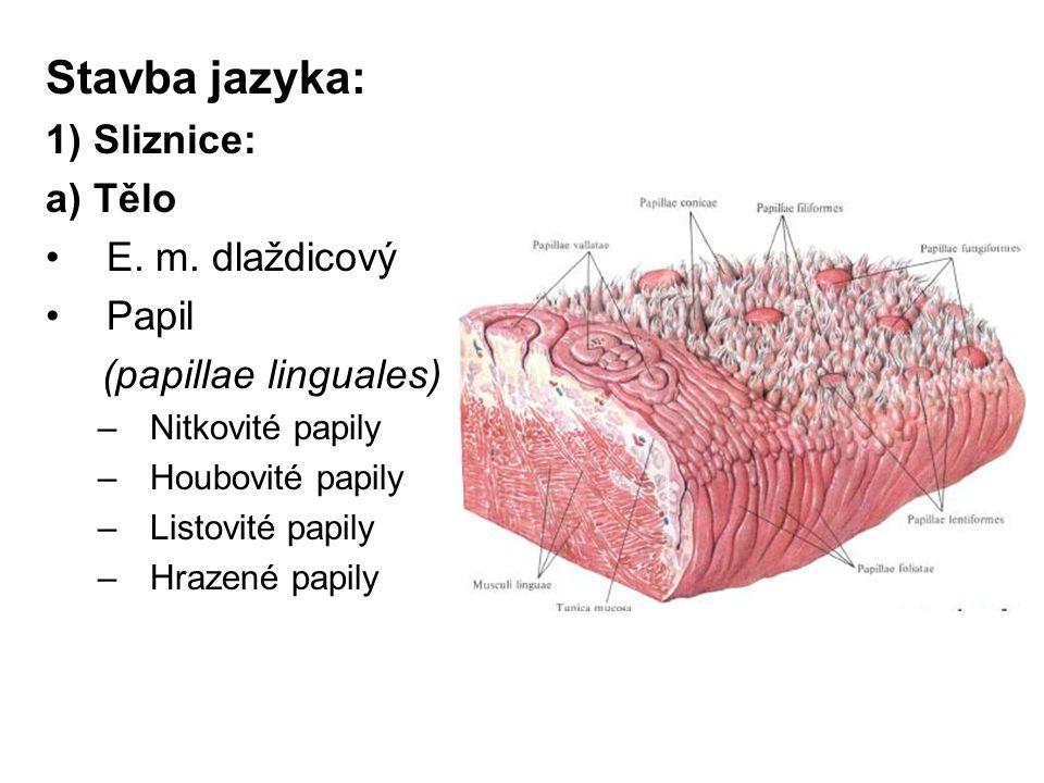 Stavba jazyka: 1) Sliznice: a) Tělo E. m. dlaždicový Papil (papillae linguales) –Nitkovité papily –Houbovité papily –Listovité papily –Hrazené papily