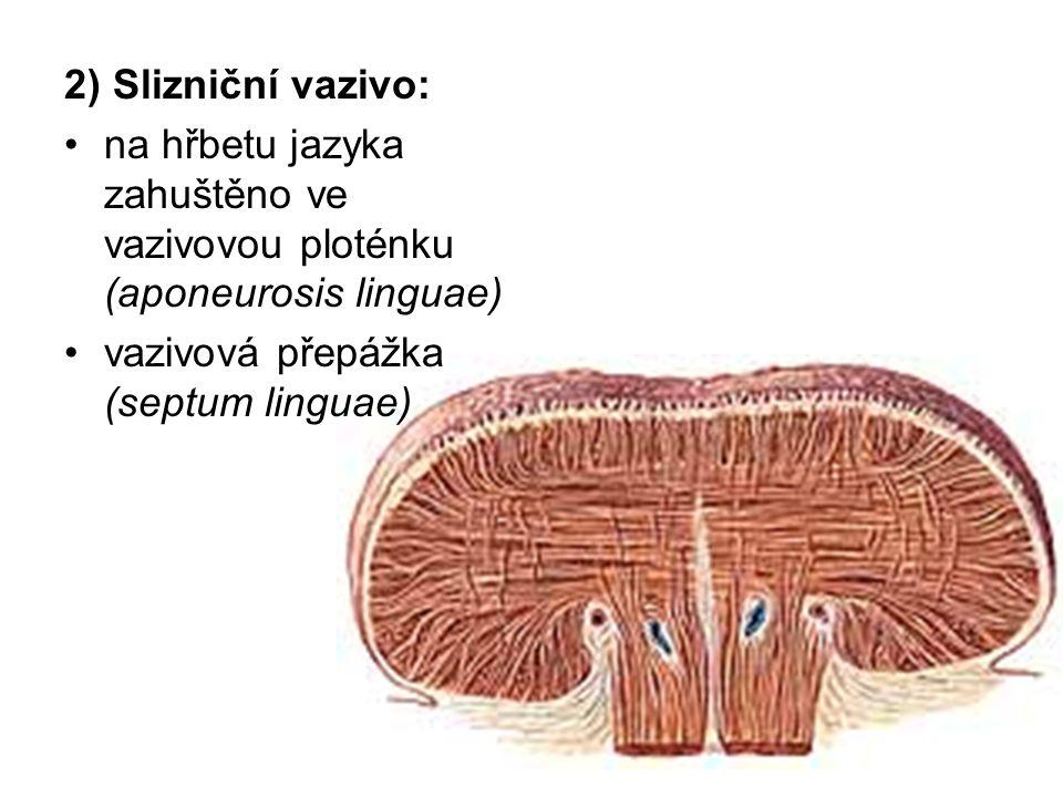 2) Slizniční vazivo: na hřbetu jazyka zahuštěno ve vazivovou ploténku (aponeurosis linguae) vazivová přepážka (septum linguae)