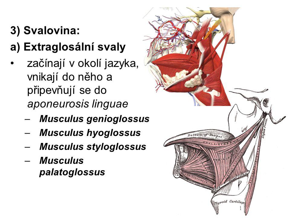 3) Svalovina: a) Extraglosální svaly začínají v okolí jazyka, vnikají do něho a připevňují se do aponeurosis linguae –Musculus genioglossus –Musculus
