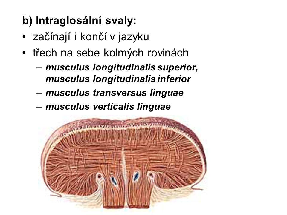 b) Intraglosální svaly: začínají i končí v jazyku třech na sebe kolmých rovinách –musculus longitudinalis superior, musculus longitudinalis inferior –