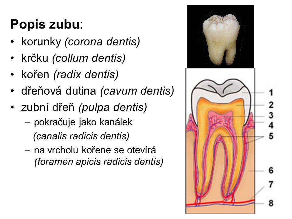 Popis zubu: korunky (corona dentis) krčku (collum dentis) kořen (radix dentis) dřeňová dutina (cavum dentis) zubní dřeň (pulpa dentis) –pokračuje jako