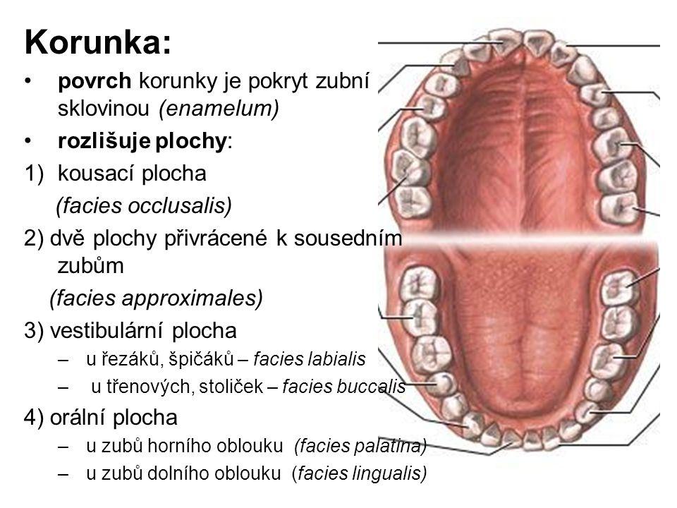 Korunka: povrch korunky je pokryt zubní sklovinou (enamelum) rozlišuje plochy: 1)kousací plocha (facies occlusalis) 2) dvě plochy přivrácené k sousedn