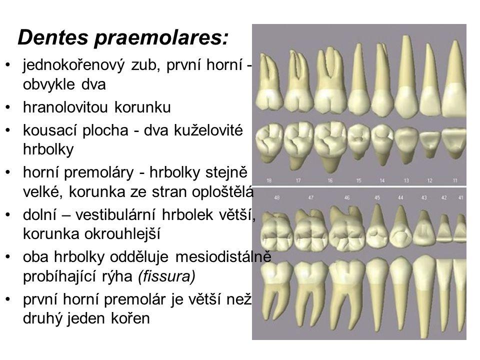 Dentes praemolares: jednokořenový zub, první horní - obvykle dva hranolovitou korunku kousací plocha - dva kuželovité hrbolky horní premoláry - hrbolk