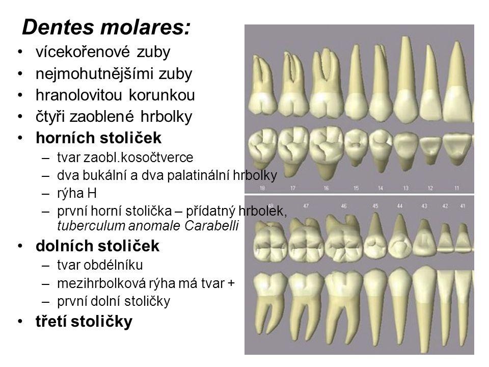 Dentes molares: vícekořenové zuby nejmohutnějšími zuby hranolovitou korunkou čtyři zaoblené hrbolky horních stoliček –tvar zaobl.kosočtverce –dva buká