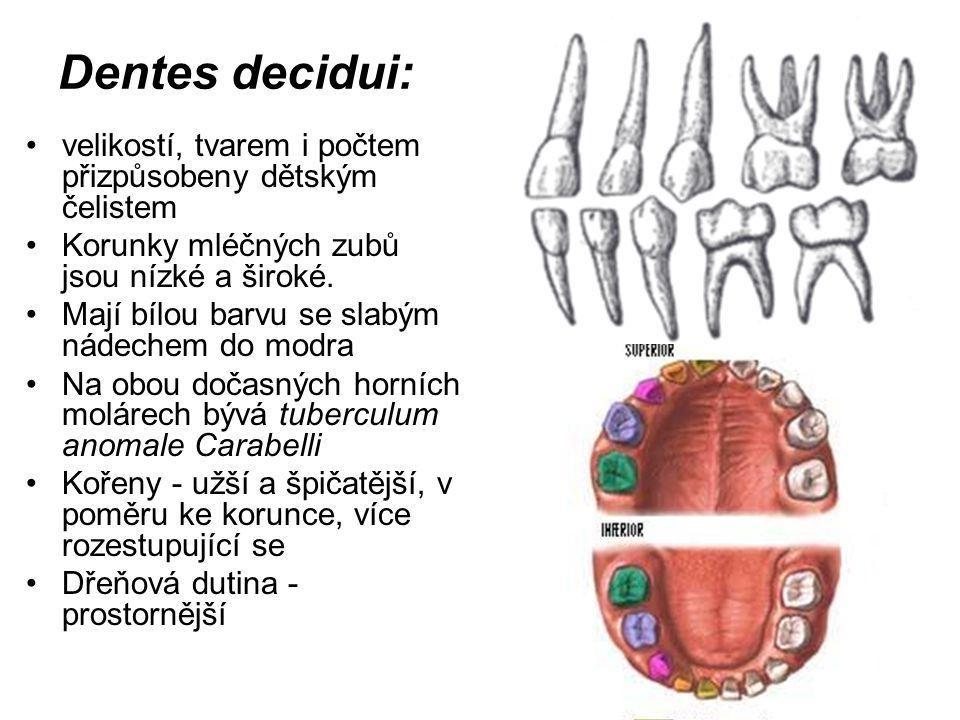 Dentes decidui: velikostí, tvarem i počtem přizpůsobeny dětským čelistem Korunky mléčných zubů jsou nízké a široké. Mají bílou barvu se slabým nádeche