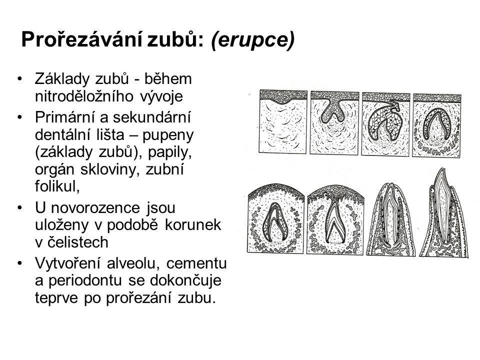 Prořezávání zubů: (erupce) Základy zubů - během nitroděložního vývoje Primární a sekundární dentální lišta – pupeny (základy zubů), papily, orgán sklo