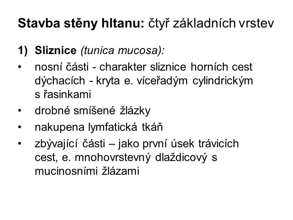Stavba stěny hltanu: čtyř základních vrstev 1)Sliznice (tunica mucosa): nosní části - charakter sliznice horních cest dýchacích - kryta e. víceřadým c