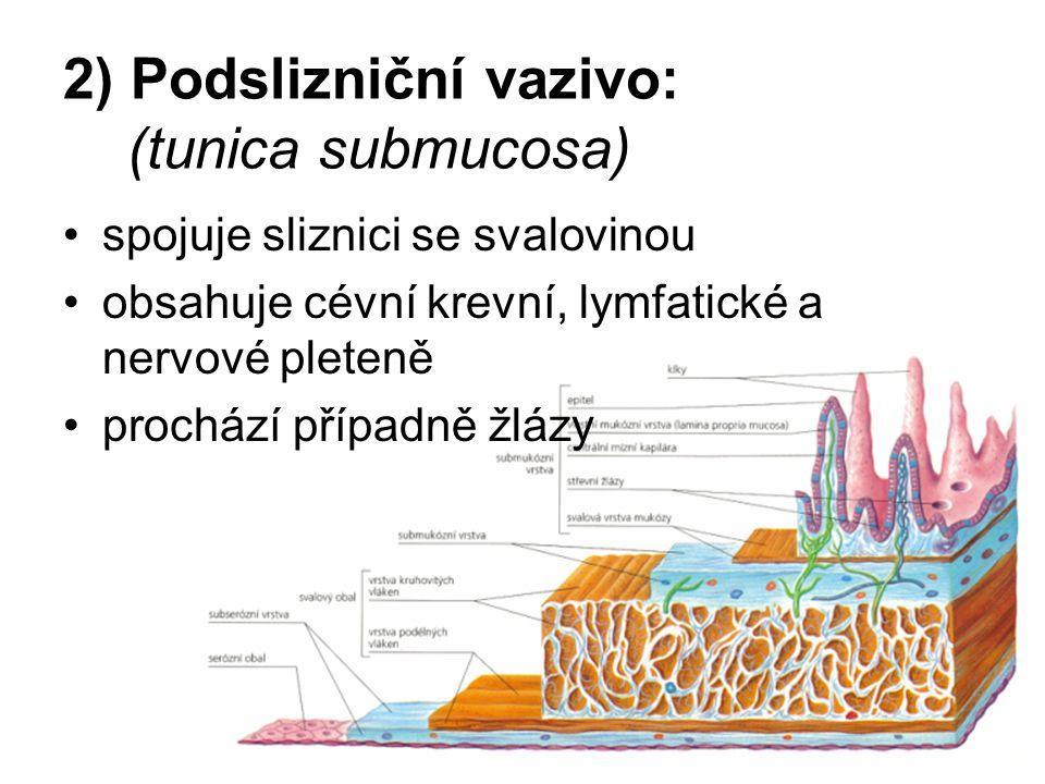 2) Podslizniční vazivo: (tunica submucosa) spojuje sliznici se svalovinou obsahuje cévní krevní, lymfatické a nervové pleteně prochází případně žlázy