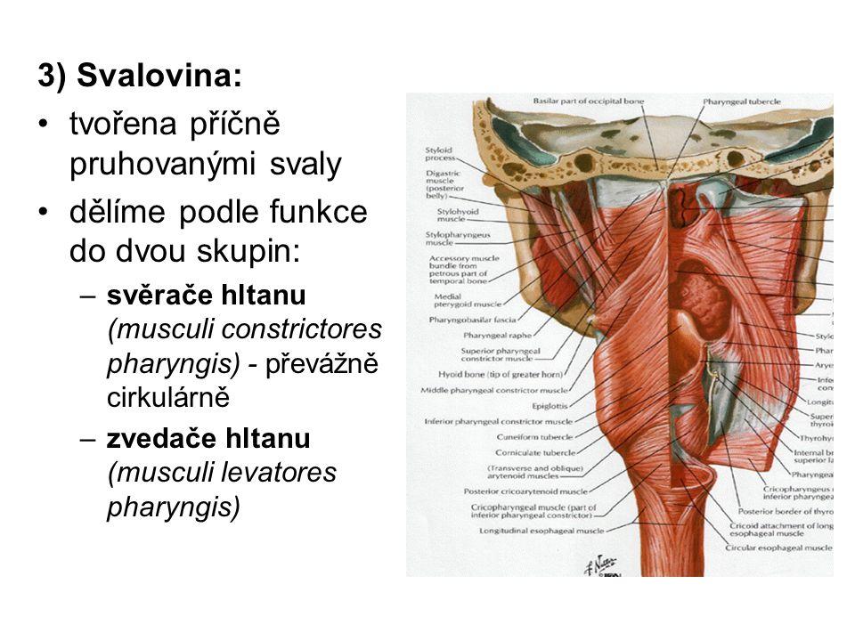 3) Svalovina: tvořena příčně pruhovanými svaly dělíme podle funkce do dvou skupin: –svěrače hltanu (musculi constrictores pharyngis) - převážně cirkul