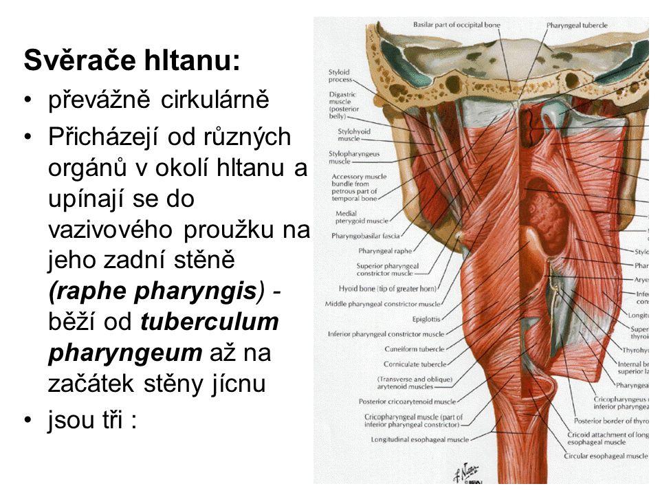 Svěrače hltanu: převážně cirkulárně Přicházejí od různých orgánů v okolí hltanu a upínají se do vazivového proužku na jeho zadní stěně (raphe pharyngi