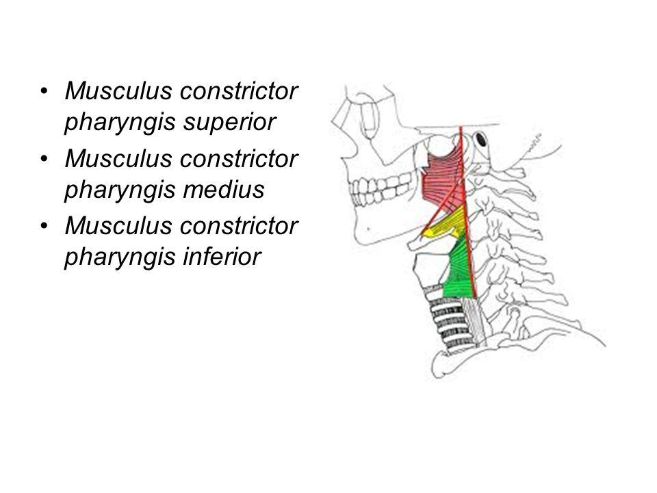 Musculus constrictor pharyngis superior Musculus constrictor pharyngis medius Musculus constrictor pharyngis inferior