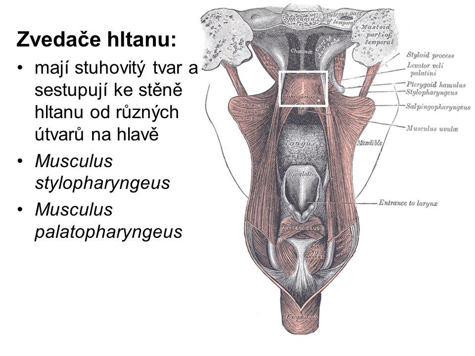Zvedače hltanu: mají stuhovitý tvar a sestupují ke stěně hltanu od různých útvarů na hlavě Musculus stylopharyngeus Musculus palatopharyngeus