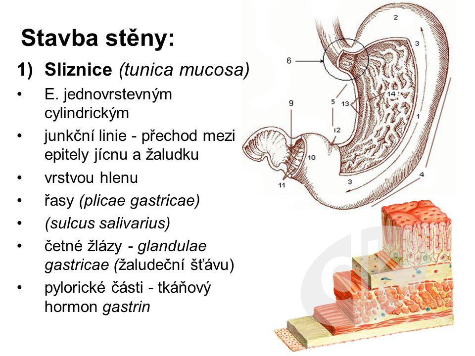 Stavba stěny: 1)Sliznice (tunica mucosa) E. jednovrstevným cylindrickým junkční linie - přechod mezi epitely jícnu a žaludku vrstvou hlenu řasy (plica
