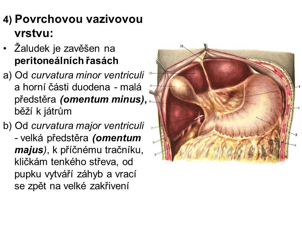 4) Povrchovou vazivovou vrstvu: Žaludek je zavěšen na peritoneálních řasách a) Od curvatura minor ventriculi a horní části duodena - malá předstěra (o