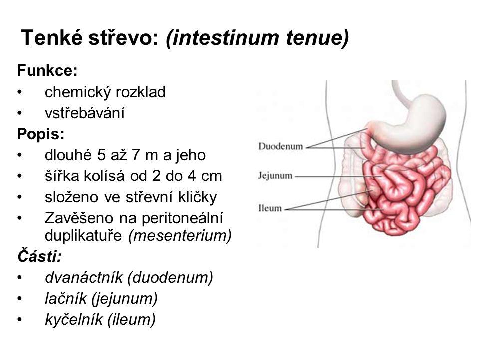 Tenké střevo: (intestinum tenue) Funkce: chemický rozklad vstřebávání Popis: dlouhé 5 až 7 m a jeho šířka kolísá od 2 do 4 cm složeno ve střevní kličk