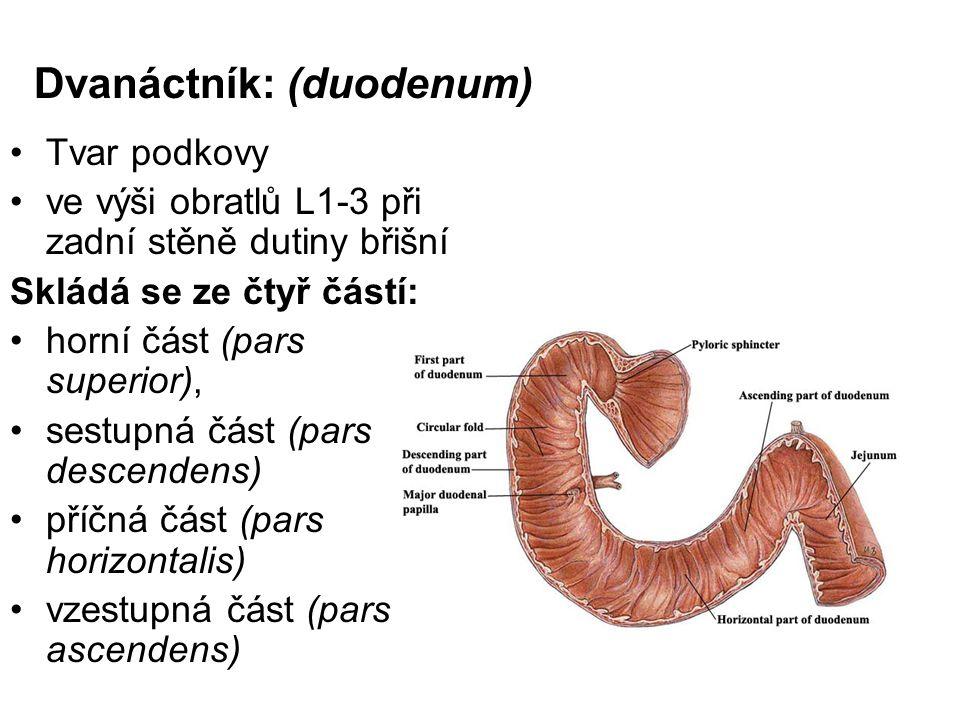 Dvanáctník: (duodenum) Tvar podkovy ve výši obratlů L1-3 při zadní stěně dutiny břišní Skládá se ze čtyř částí: horní část (pars superior), sestupná č
