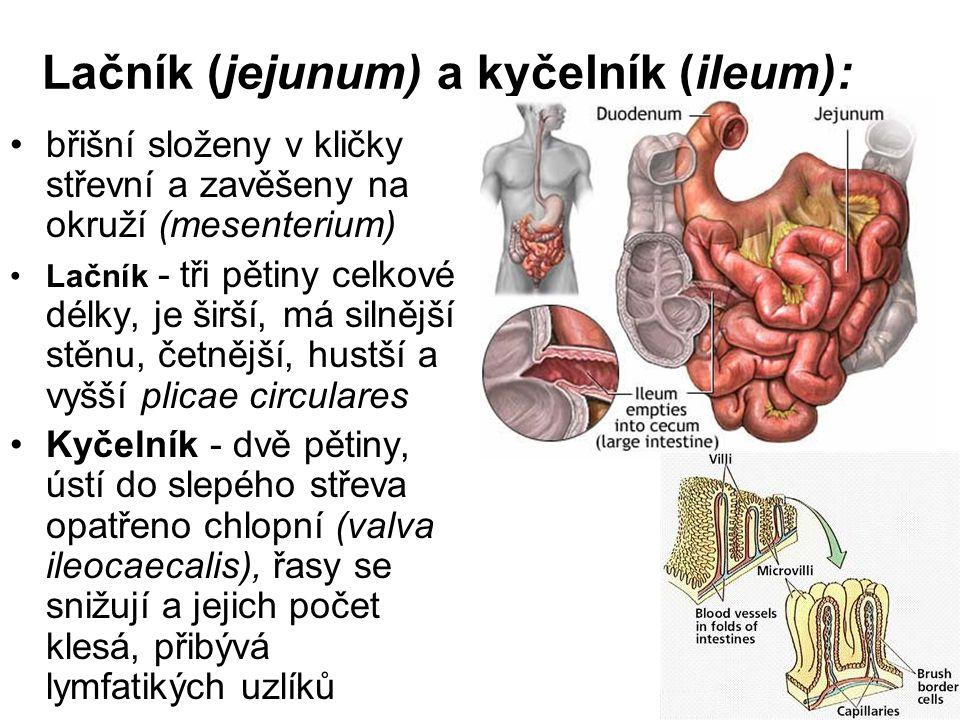 Lačník (jejunum) a kyčelník (ileum): břišní složeny v kličky střevní a zavěšeny na okruží (mesenterium) Lačník - tři pětiny celkové délky, je širší, m