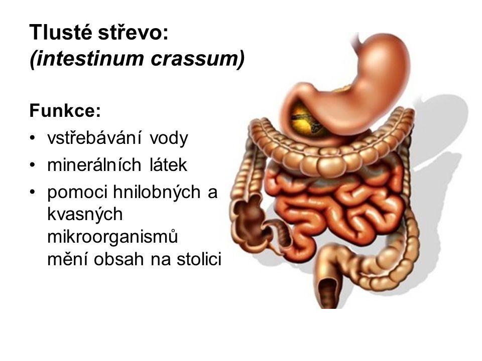 Tlusté střevo: (intestinum crassum) Funkce: vstřebávání vody minerálních látek pomoci hnilobných a kvasných mikroorganismů mění obsah na stolici