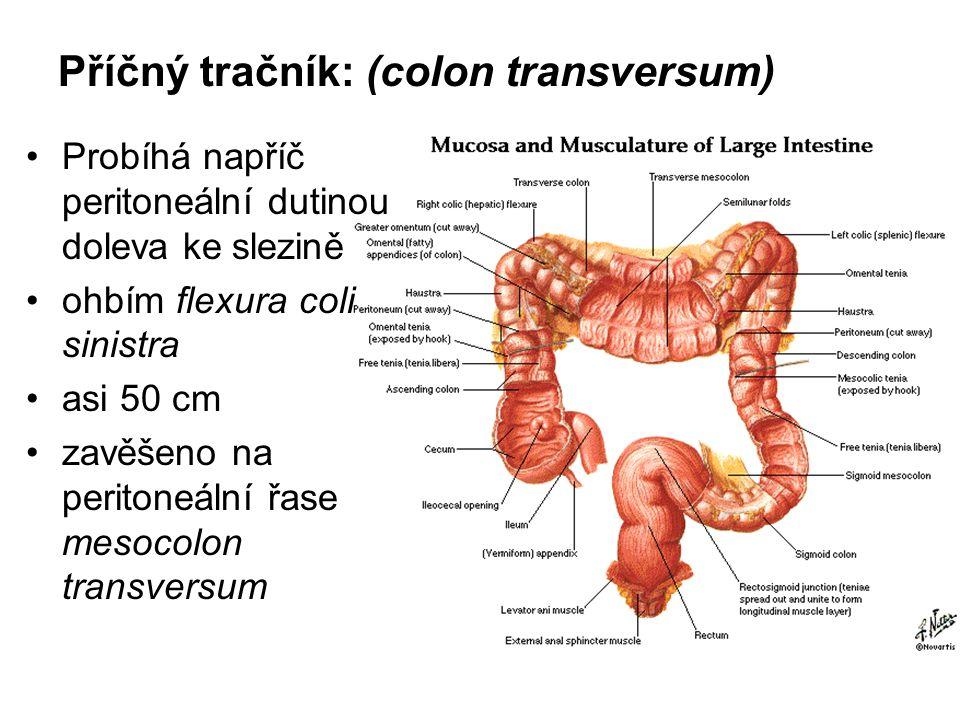 Příčný tračník: (colon transversum) Probíhá napříč peritoneální dutinou doleva ke slezině ohbím flexura coli sinistra asi 50 cm zavěšeno na peritoneál