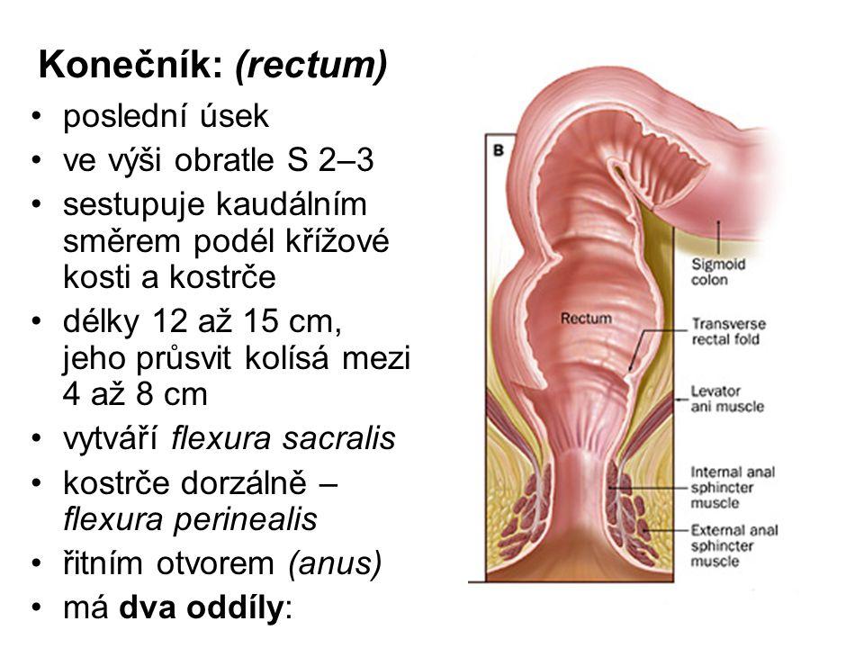 Konečník: (rectum) poslední úsek ve výši obratle S 2–3 sestupuje kaudálním směrem podél křížové kosti a kostrče délky 12 až 15 cm, jeho průsvit kolísá