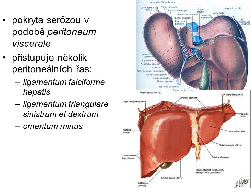 pokryta serózou v podobě peritoneum viscerale přistupuje několik peritoneálních řas: –ligamentum falciforme hepatis –ligamentum triangulare sinistrum