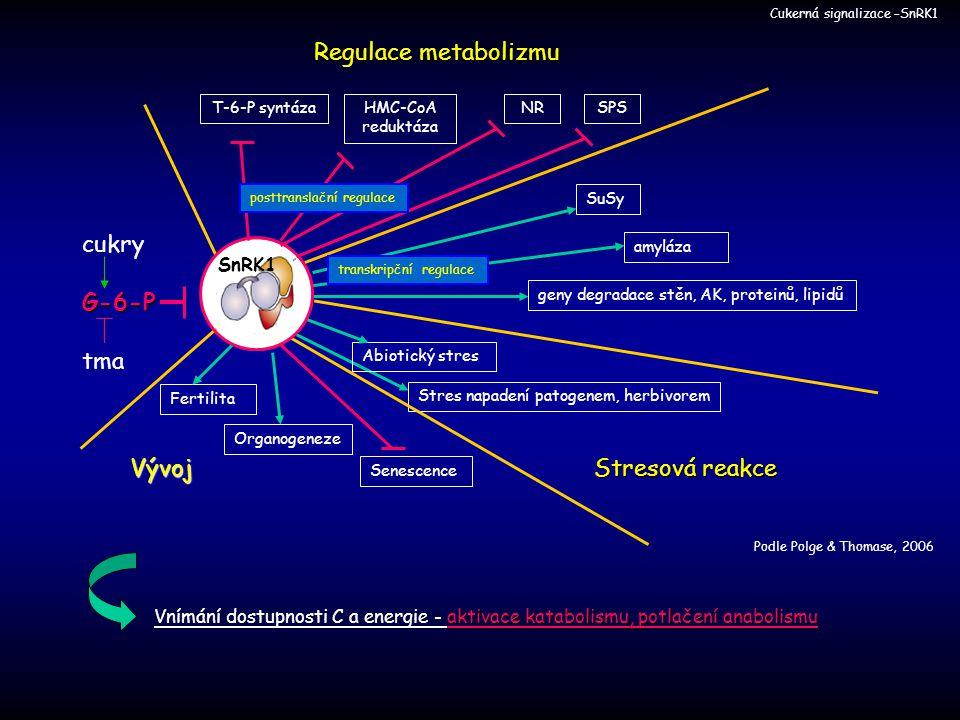 Cukerná signalizace –SnRK1 aktivace katabolismu, potlačení anabolismu Vnímání dostupnosti C a energie - aktivace katabolismu, potlačení anabolismu G-6