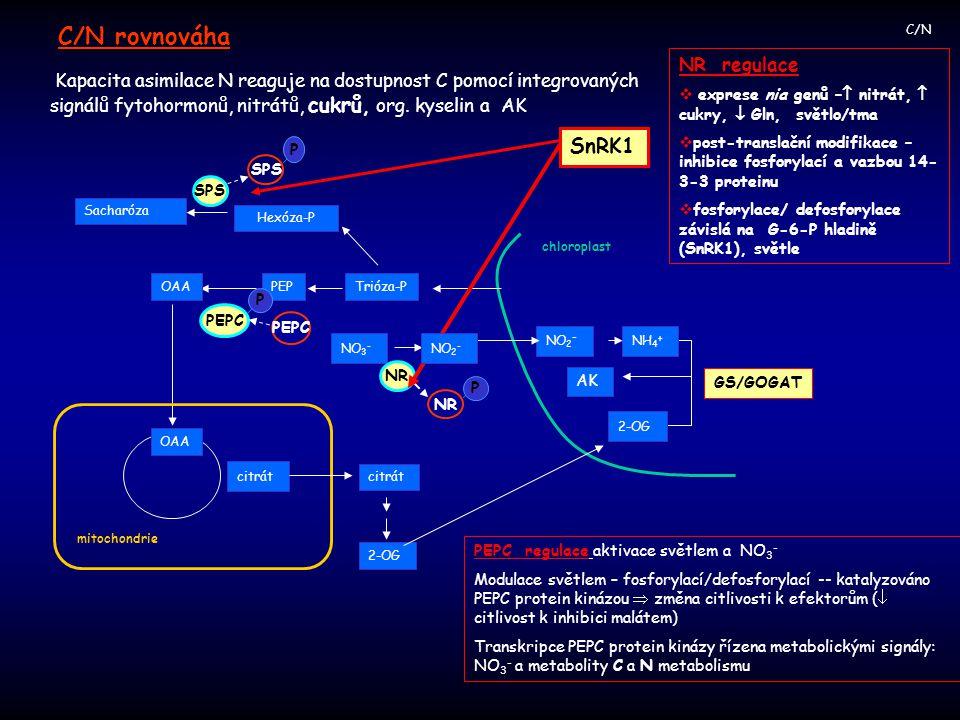 C/N Kapacita asimilace N reaguje na dostupnost C pomocí integrovaných signálů fytohormonů, nitrátů, cukrů, org. kyselin a AK C/N rovnováha NR regulace