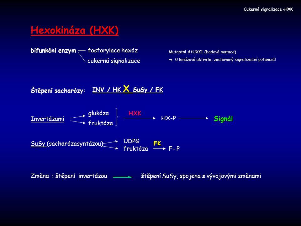 Hexokináza (HXK) bifunkční enzym fosforylace hexóz cukerná signalizace Mutantní AtHXK1 (bodová mutace)  0 kinázová aktivita, zachovaný signalizační p