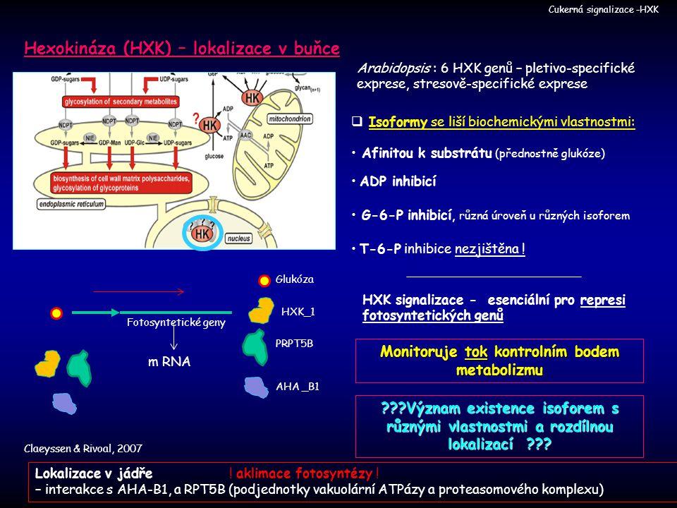 Hexokináza (HXK) – lokalizace v buňce Claeyssen & Rivoal, 2007 Cukerná signalizace -HXK HXK signalizace - esenciální pro represi fotosyntetických genů