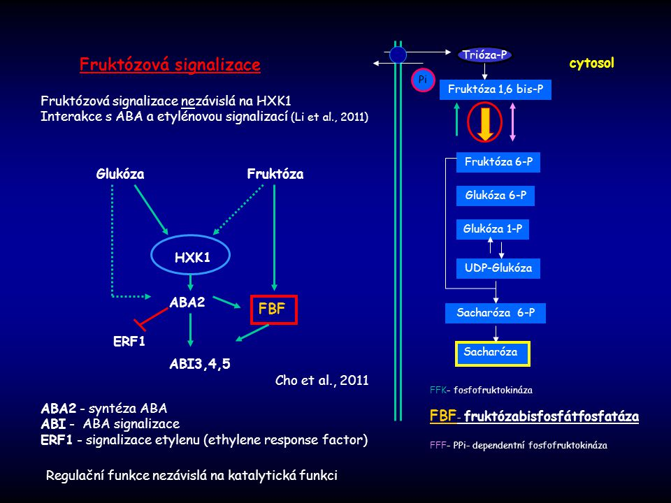 Fruktózová signalizace Regulační funkce nezávislá na katalytická funkci Cho et al., 2011 Fruktóza Glukóza HXK1 FBF ABA2 ABI3,4,5 ERF1 ABA2 - syntéza A