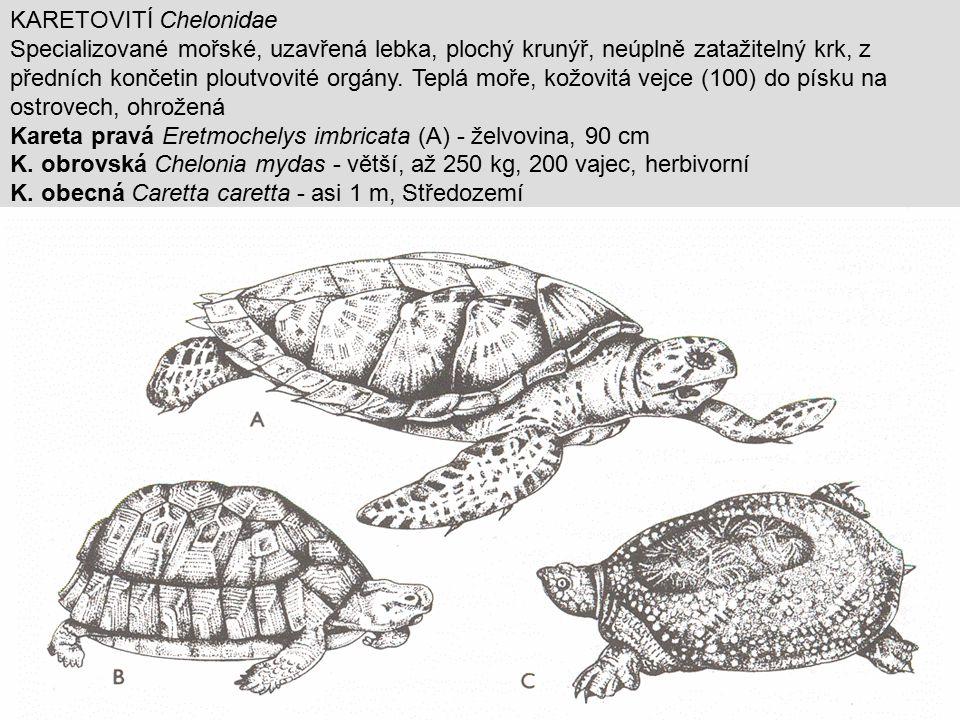 KARETOVITÍ Chelonidae Specializované mořské, uzavřená lebka, plochý krunýř, neúplně zatažitelný krk, z předních končetin ploutvovité orgány. Teplá moř