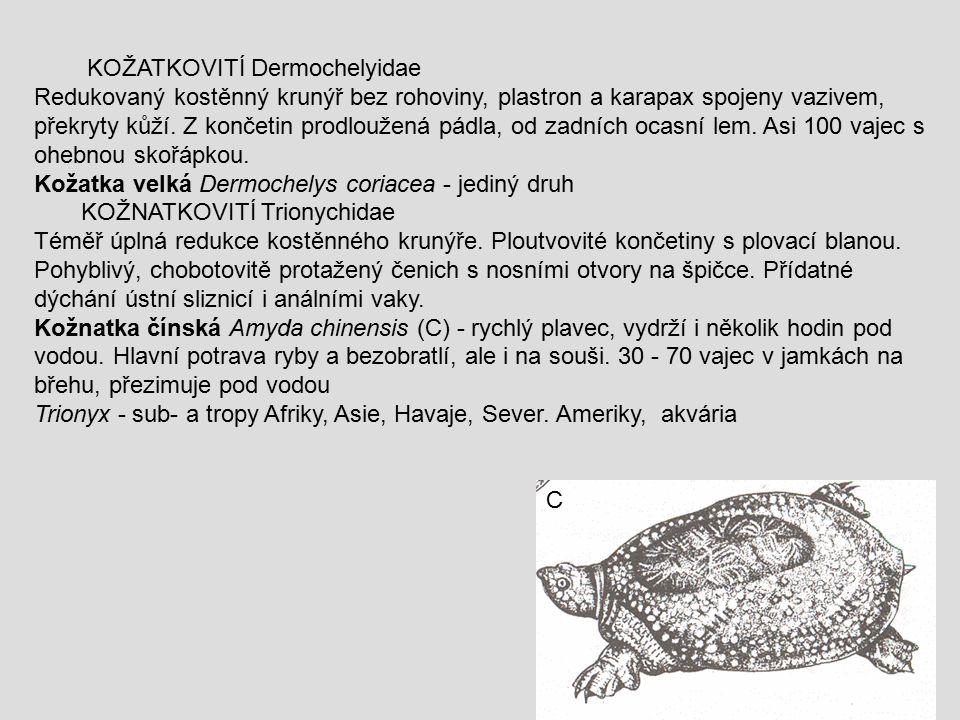 KOŽATKOVITÍ Dermochelyidae Redukovaný kostěnný krunýř bez rohoviny, plastron a karapax spojeny vazivem, překryty kůží. Z končetin prodloužená pádla, o