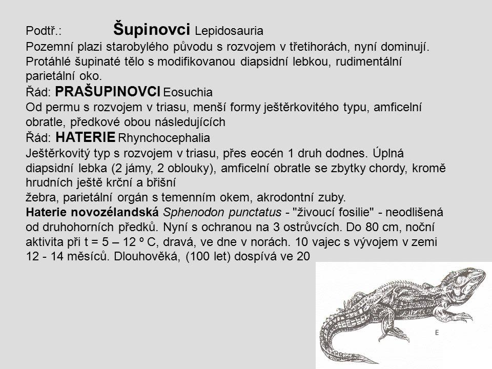 Podtř.: Šupinovci Lepidosauria Pozemní plazi starobylého původu s rozvojem v třetihorách, nyní dominují. Protáhlé šupinaté tělo s modifikovanou diapsi
