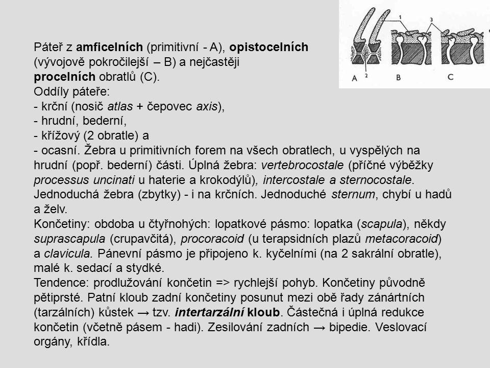 Páteř z amficelních (primitivní - A), opistocelních (vývojově pokročilejší – B) a nejčastěji procelních obratlů (C). Oddíly páteře: - krční (nosič atl