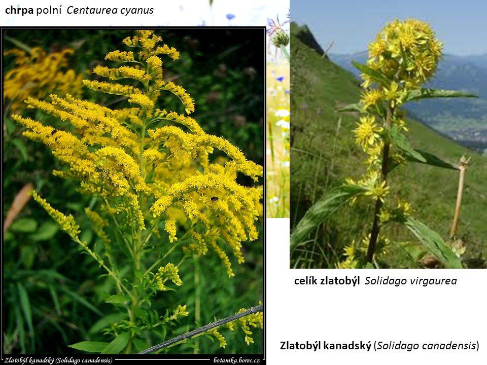chrpa polní Centaurea cyanus celík zlatobýl Solidago virgaurea Zlatobýl kanadský (Solidago canadensis)