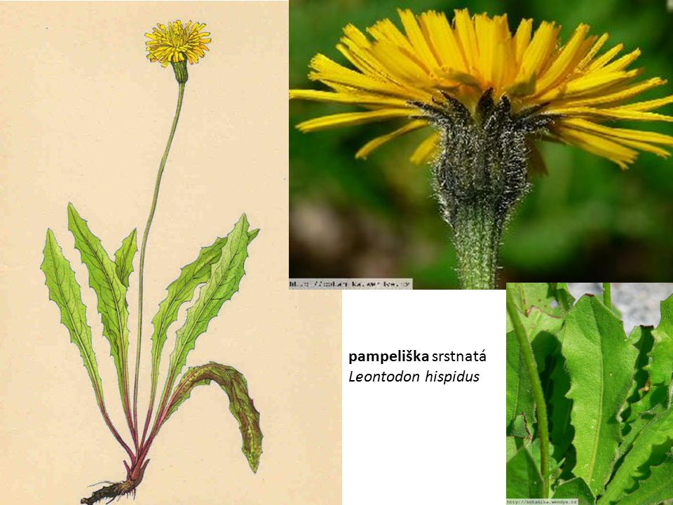 pampeliška srstnatá Leontodon hispidus