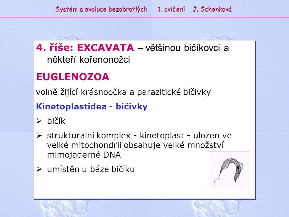 4. říše: EXCAVATA – většinou bičíkovci a někteří kořenonožci EUGLENOZOA volně žijící krásnoočka a parazitické bičivky Kinetoplastidea - bičivky  bičí