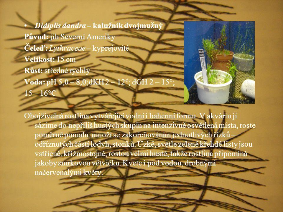 Didiplis dandra – kalužník dvojmužný Původ: jih Severní Ameriky Čeleď: Lythraceae – kyprejovité Velikost: 15 cm Růst: středně rychlý Voda: pH 5,0 – 8,0;dKH 2 – 12°; dGH 2 – 15°; 15 – 16°C Obojživelná rostlina vytvářející vodní i bahenní formu.