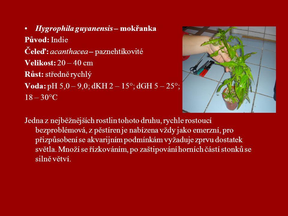 Hygrophila guyanensis – mokřanka Původ: Indie Čeleď: acanthacea – paznehtíkovité Velikost: 20 – 40 cm Růst: středně rychlý Voda: pH 5,0 – 9,0; dKH 2 – 15°; dGH 5 – 25°; 18 – 30°C Jedna z nejběžnějších rostlin tohoto druhu, rychle rostoucí bezproblémová, z pěstíren je nabízena vždy jako emerzní, pro přizpůsobení se akvarijním podmínkám vyžaduje zprvu dostatek světla.