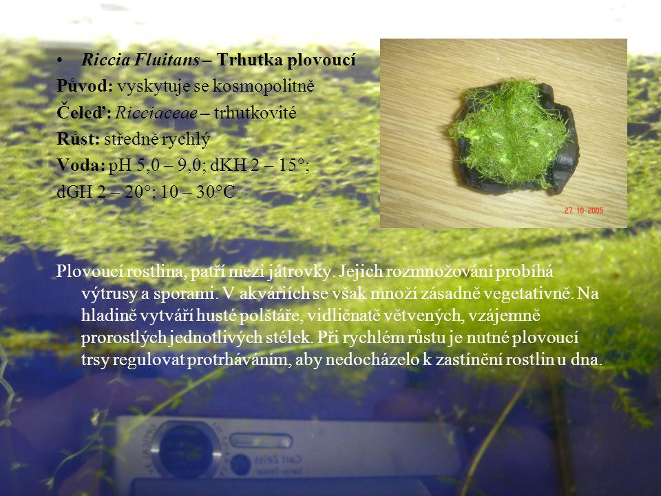 Riccia Fluitans – Trhutka plovoucí Původ: vyskytuje se kosmopolitně Čeleď: Ricciaceae – trhutkovité Růst: středně rychlý Voda: pH 5,0 – 9,0; dKH 2 – 15°; dGH 2 – 20°; 10 – 30°C Plovoucí rostlina, patří mezi játrovky.