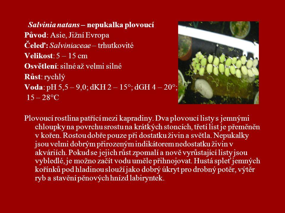 Salvinia natans – nepukalka plovoucí Původ: Asie, Jižní Evropa Čeleď: Salviniaceae – trhutkovité Velikost: 5 – 15 cm Osvětlení: silné až velmi silné Růst: rychlý Voda: pH 5,5 – 9,0; dKH 2 – 15°; dGH 4 – 20°; 15 – 28°C Plovoucí rostlina patřící mezi kapradiny.