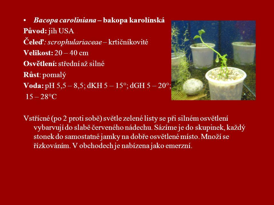 Bacopa caroliniana – bakopa karolínská Původ: jih USA Čeleď: scrophulariaceae – krtičníkovité Velikost: 20 – 40 cm Osvětlení: střední až silné Růst: pomalý Voda: pH 5,5 – 8,5; dKH 5 – 15°; dGH 5 – 20°; 15 – 28°C Vstřícné (po 2 proti sobě) světle zelené listy se při silném osvětlení vybarvují do slabě červeného nádechu.