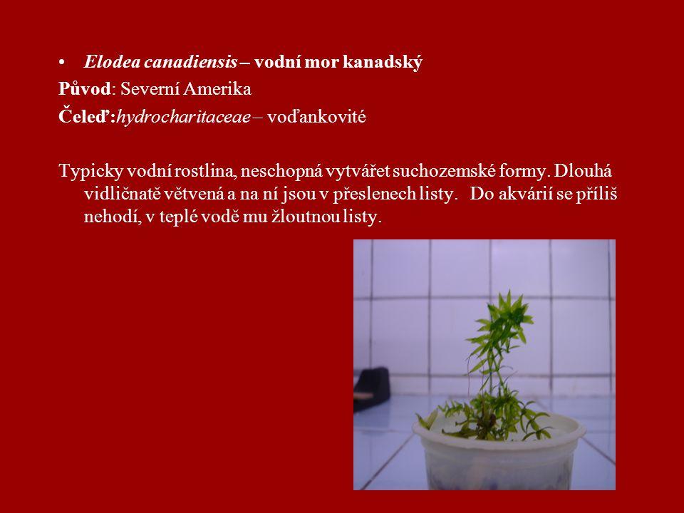 Elodea canadiensis – vodní mor kanadský Původ: Severní Amerika Čeleď:hydrocharitaceae – voďankovité Typicky vodní rostlina, neschopná vytvářet suchozemské formy.
