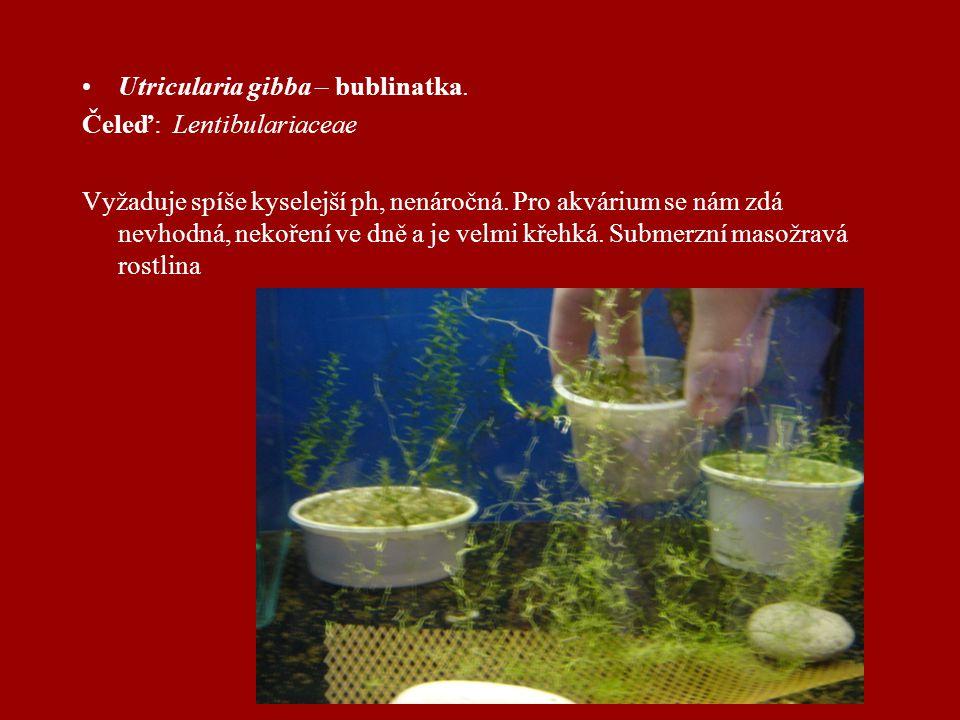 Utricularia gibba – bublinatka.Čeleď: Lentibulariaceae Vyžaduje spíše kyselejší ph, nenáročná.