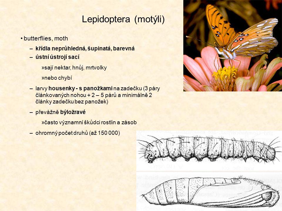 Lepidoptera (motýli) butterflies, moth –křídla neprůhledná, šupinatá, barevná –ústní ústrojí sací »sají nektar, hnůj, mrtvolky »nebo chybí –larvy hous