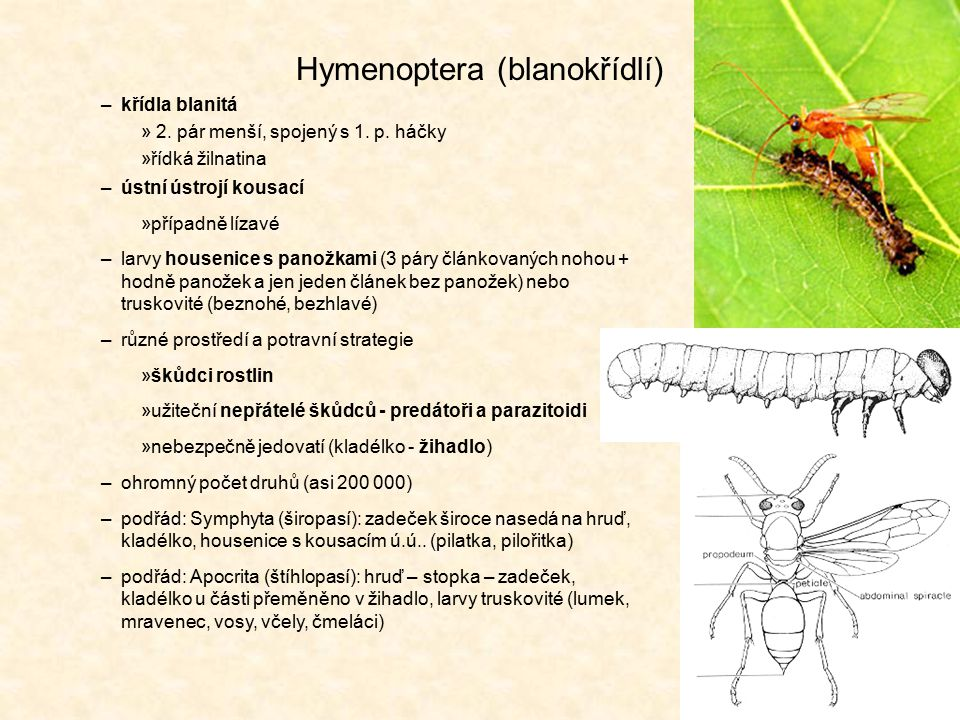 Hymenoptera (blanokřídlí) –křídla blanitá » 2. pár menší, spojený s 1. p. háčky »řídká žilnatina –ústní ústrojí kousací »případně lízavé –larvy housen